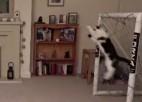 Video: Visu laiku labākais vārtsargs no dzīvnieku pasaules?
