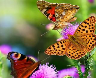 Foto: Brīnišķā tauriņu pasaule 30 krāšņās fotogrāfijās