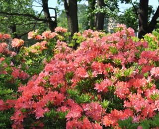 Foto: Rododendru krāšņums LU Botāniskajā dārzā 35 fotogrāfijās