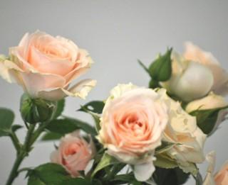 Foto: Dabas muzejā zied un smaržo rozes. 35 foto