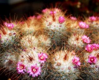"""Dabas muzejā izstāde """"Kaktusi un citi sukulenti"""""""