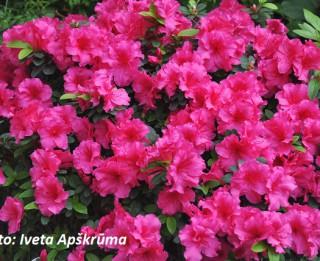 Foto: Acālijas pilnos ziedos. 15 foto