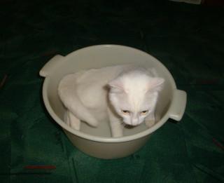 Mūsu mājas mīluļu Ginesa rekordi. Kaķi